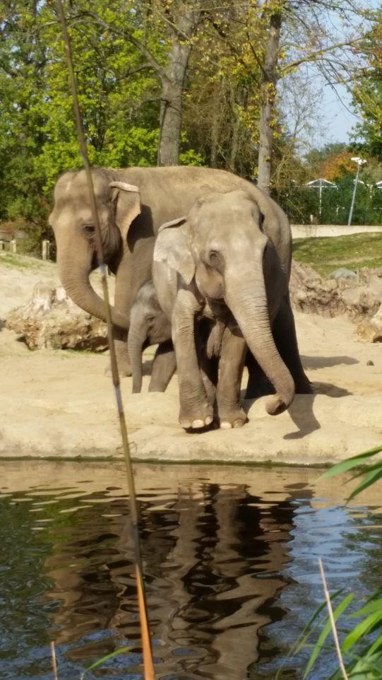 Aziatische olifanten