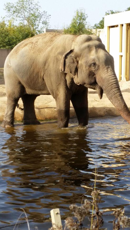 Aziatische olifant